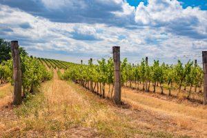 Vinařství v oblasti Pálavy a Mikulovska