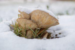 Houbaření v zimě je kouzelné, protože v lese budete jen se srnkami.